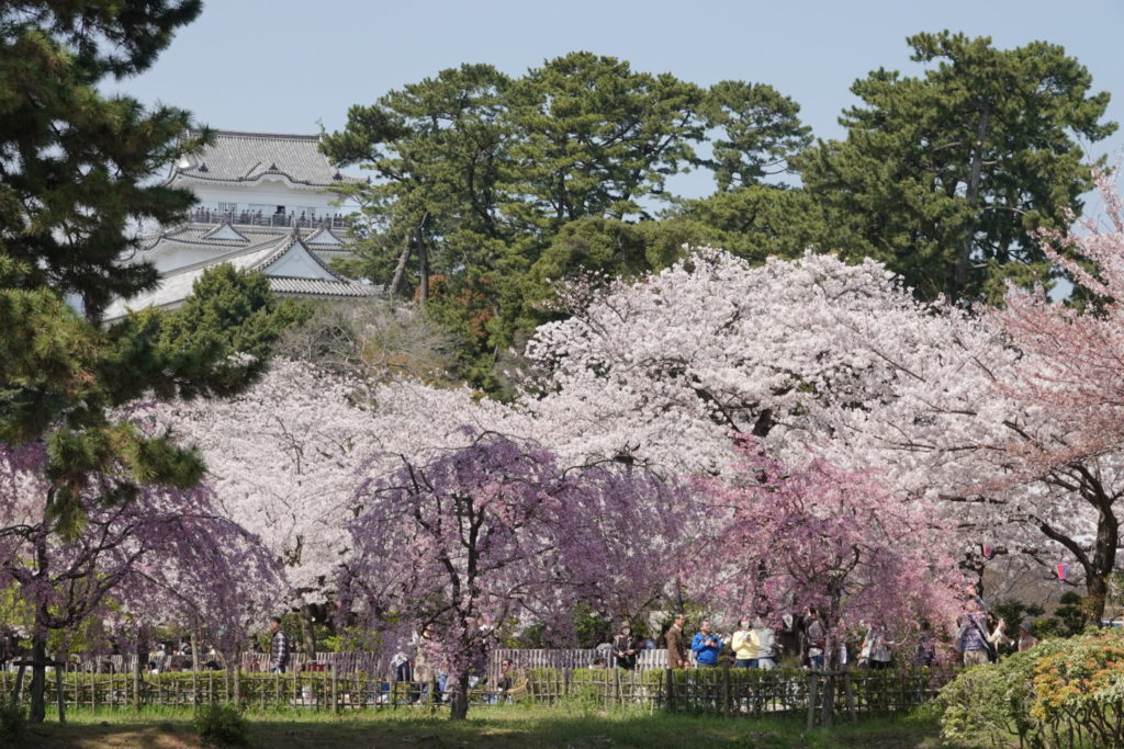 ปราสาท Odawara และ Sakura (100 Cherry Blossoms in Japan)