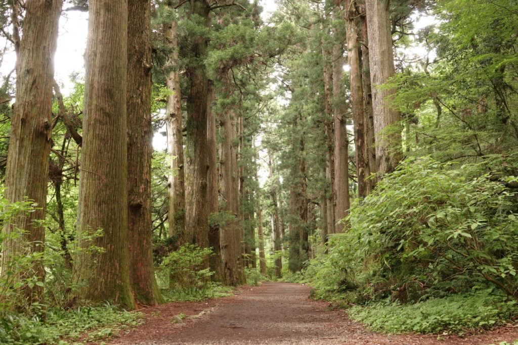Hakone Old Road Cedar