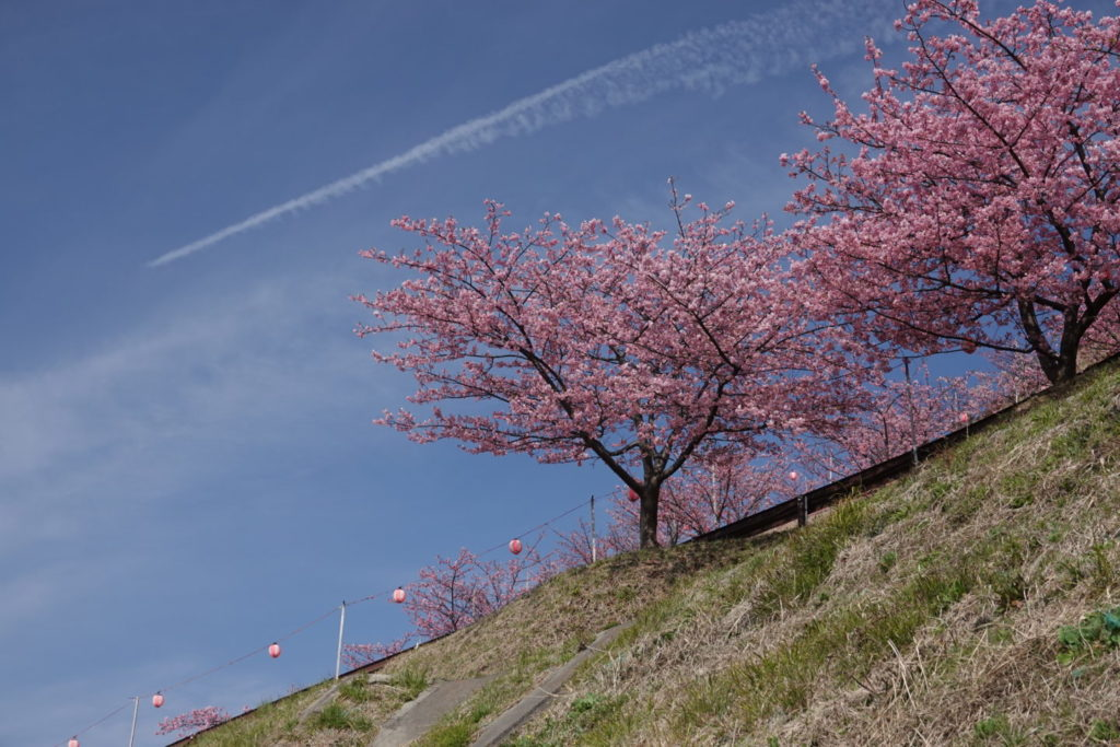 Mazda Cherry Blossom Festival Cherry blossoms and airplane clouds