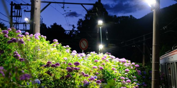 Night Hortensia